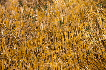 recently: Dry yellow straw recently collected Stock Photo