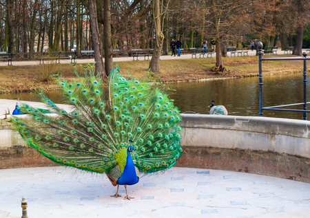 Beautiful and colorful peacock in Royal Baths Park (Lazienki Park). Warsaw, Poland