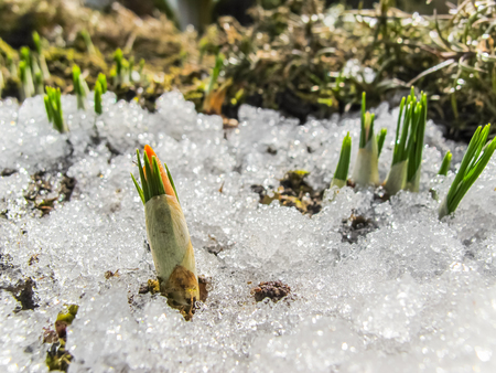 Bud of the first crocus from under the snow in the spring garden