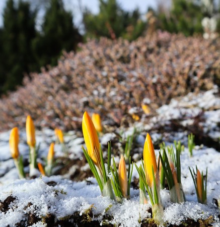 The first crocuses from under the snow in the spring garden