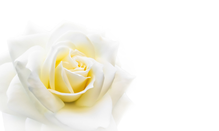 Beautiful rose isolated on white background. Ideal for greeting cards for wedding, birthday, Valentine's Day, Mother's Day 免版税图像
