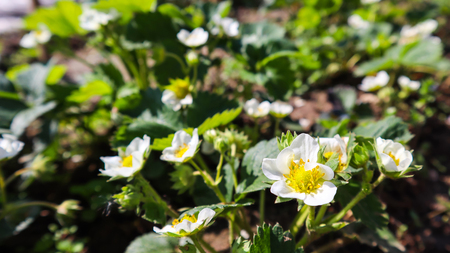 Blooming strawberry on an organic farm. Gardening concept