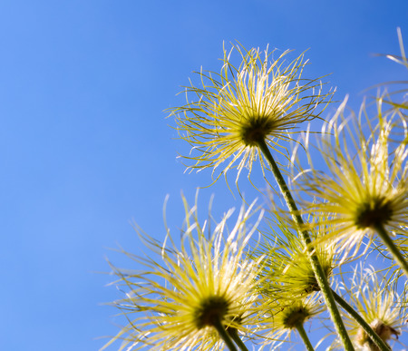 Alpine anemone (Pulsatilla alpina apiifolia) fruits on a background of blue sky with clouds