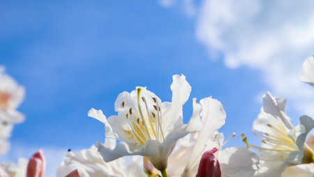 Beautiful petals of Rhododendron flower Cunninghams White on the background of blue sky with clouds