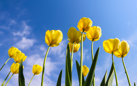 Beautiful yellow tulips in spring against blue sky with clouds