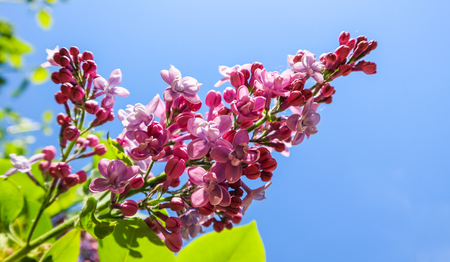 Flowering branch of lilac on a background of blue sky in spring garden