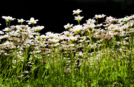 Floral background. Small white flowers Saxifrage moss on a black backdrop