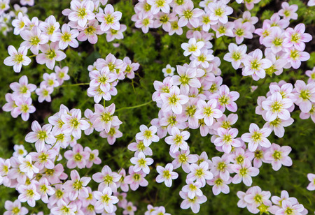 Floral background. Small white flowers Saxifrage moss in the spring garden
