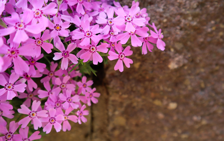 Background of pink flowers (Phlox) in spring