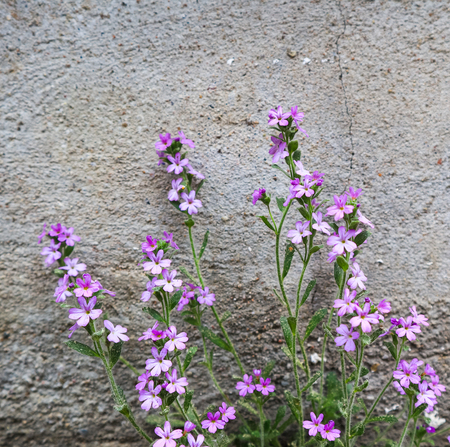 Small purple flowers grow near the wall of the house. Concrete background
