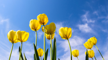 Beautiful yellow tulips in spring against blue sky with clouds. Floral background