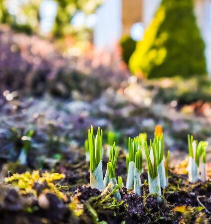 Spring is coming. The first yellow crocuses in my garden on a sunny day Stock Photo