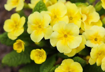 Blooming yellow primrose in the spring garden.