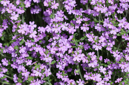 Small purple Erinus alpinus flowers near stone wall. Floral background.