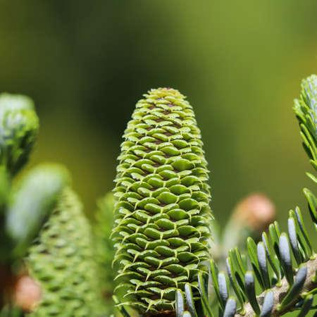 A branch of Korean fir with young cone in spring garden