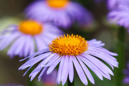 Alpine aster (Aster alpinus). Beautiful purple flowers with an orange center and drops of water after rain in the garden