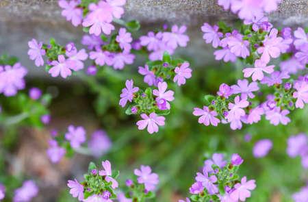 Small purple Erinus alpinus flowers near stone wall. Floral background.