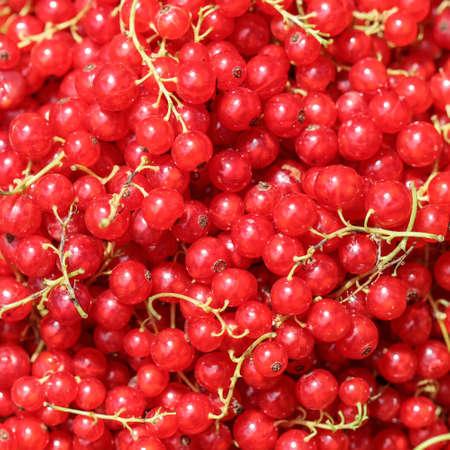 Harvesting red currants in the garden. Harvest concept. Archivio Fotografico