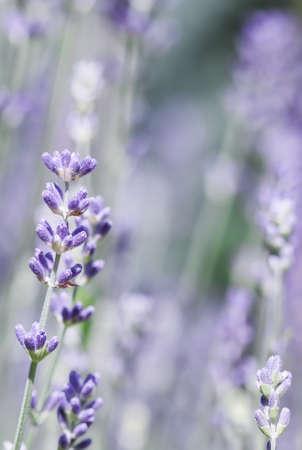 Soft focus on beautiful lavender flowers in summer garden Foto de archivo