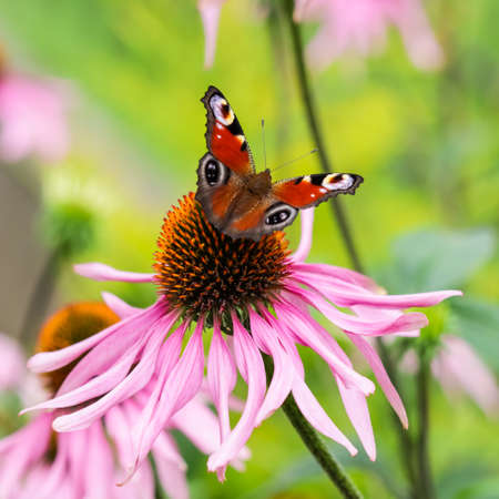 Beautiful colored European Peacock butterfly (Inachis io, Aglais io) on purple flower Echinacea in a sunny summer garden. Stock Photo