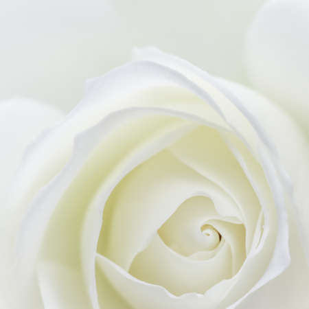 Abstract floral background, white rose flower petals. Macro flowers backdrop for holiday design. Soft focus. Foto de archivo
