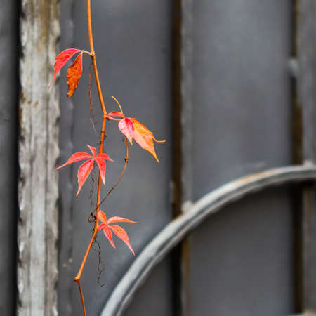 Autumn red leaves of girlish grape on gray metal gate with forging elements