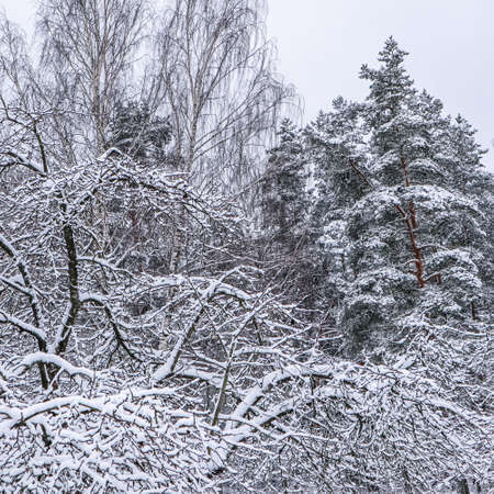 Beautiful winter forest with snowy trees. A lot of thin twigs covered with white snow