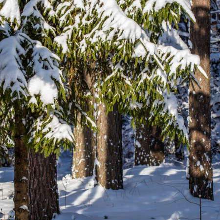 Spruce forest covered with fresh snow during winter Christmas on a sunny frosty day
