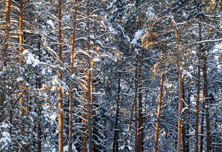 Pine forest covered with fresh snow during winter Christmas on a sunny frosty day.