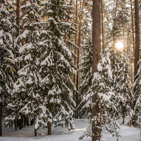 Sunset in the winter forest. Spruce and pine trees covered with fresh snow on a frosty day.