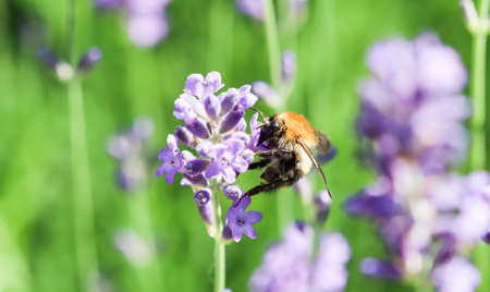 Working bee on lavender flower in summer garden. Gardening and summer vacation concept