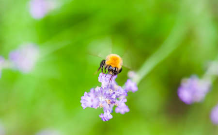 Working bee on lavender flower in summer garden. Natural green background