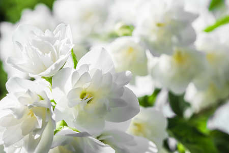 Soft focus, abstract floral background, White terry Jasmine flower petals. Macro flowers backdrop for holiday brand design