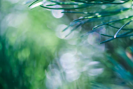 Texture, background, pattern of green needles of pine with rain drops. Bokeh with light reflection. Natural backdrop