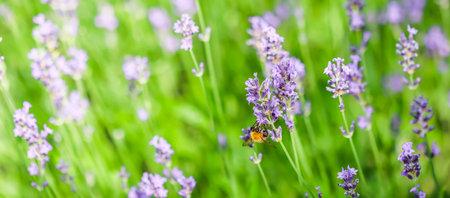 Working bee on a lavender flower in a summer garden. Natural background Standard-Bild
