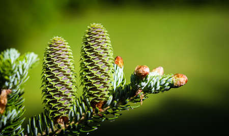 A branch of Korean fir with cones and raindrops in a spring garden on a blurred background