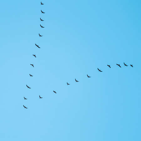 Flock of wild birds flying in a wedge against blue sky. The concept of avian migratory Standard-Bild