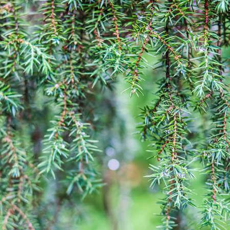 Closeup Blue leaves of evergreen coniferous tree Juniperus communis Horstmann. Extreme bokeh with light reflection. Macro photography, selective focus, blurred nature background Standard-Bild