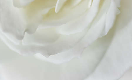 Abstract floral background, white rose flower petals. Macro flowers backdrop for holiday design. Soft focus.