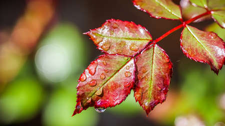 Red rose leaf with raindrops after rain in the autumn garden. Bokeh with light reflection Standard-Bild