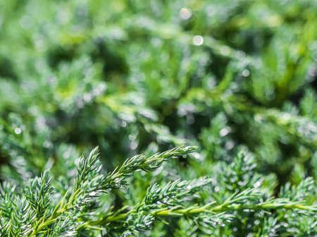 Texture, background, pattern of green branches of decorative coniferous evergreen juniper with rain drops. Bokeh with light reflection. Natural backdrop