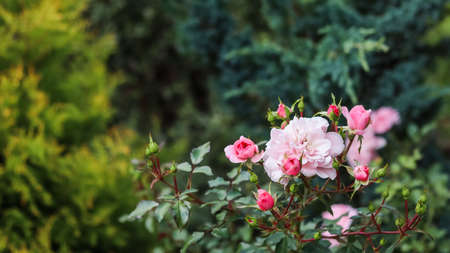 Soft pink rose Bonica with buds in the garden. Perfect for background of greeting cards for birthday, Valentines Day and Mothers Day