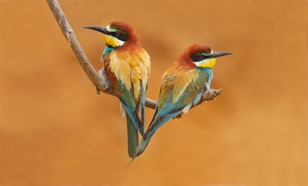 Bee Eater-Cinnamon chested  photo