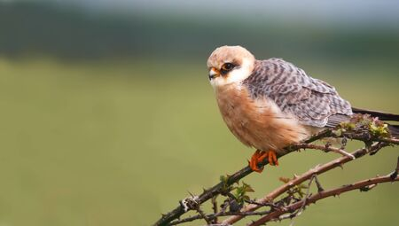 merlin falcon: Red-footed falcon Falco vespertinus