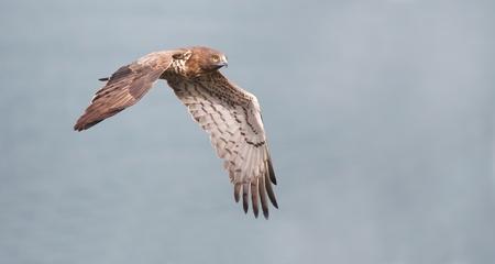 Snake Eagle Short-toed snake-eagle Circaetus gallicus.
