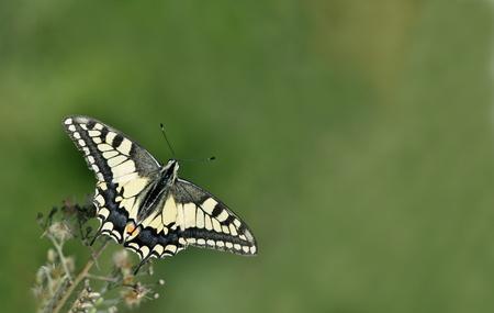 swallowtail: Butterfly,Swallowtail