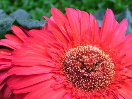 Red Gerbera Daisy photo
