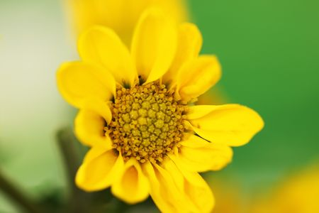 insipid: Yellow Chrysanthemum