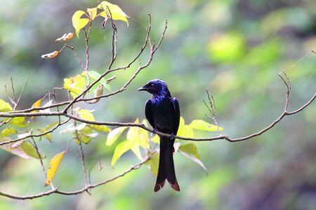 bronzed: Purple bird, Bronzed Drongo