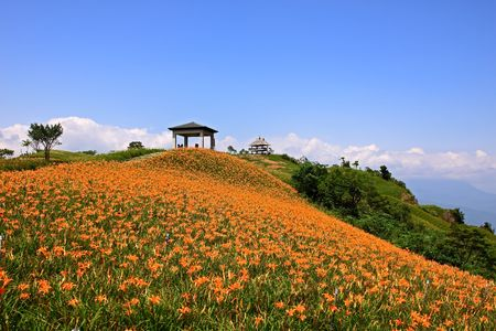 beautiful Lily field with blue sky in the background 스톡 콘텐츠